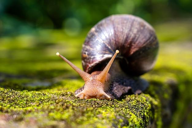 Gros escargot en coquille rampant sur la mousse