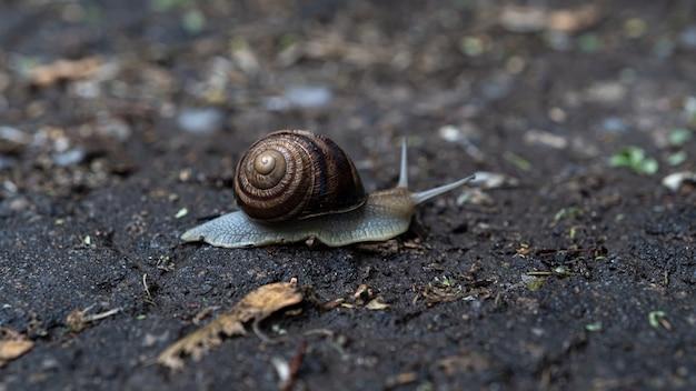 Gros escargot en coquille rampant sur route, journée d'été dans le jardin.