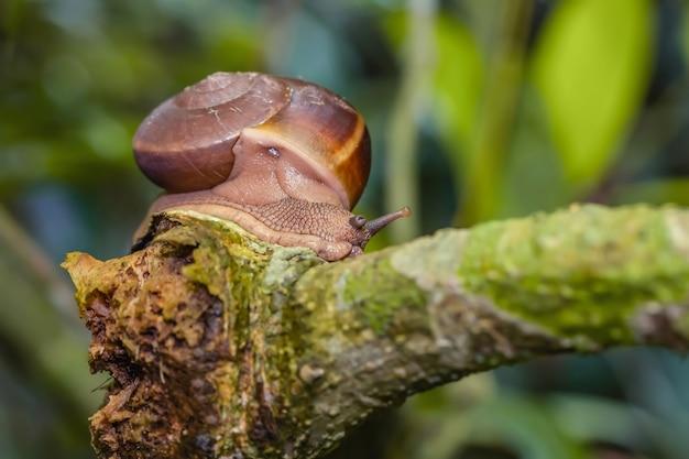 Un gros escargot sur l'habitat