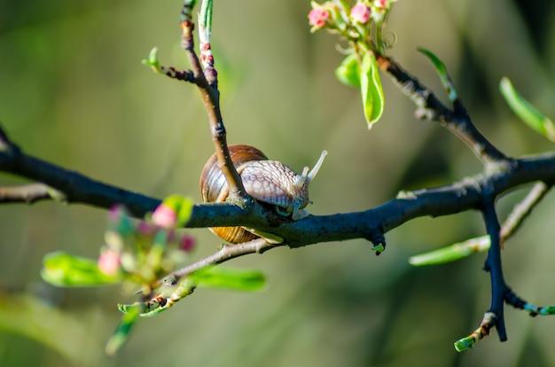 Gros escargot rampant sur une branche avec des fleurs se bouchent