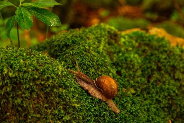 Un gros escargot rampe sur de la mousse verte dans une forêt sauvage.