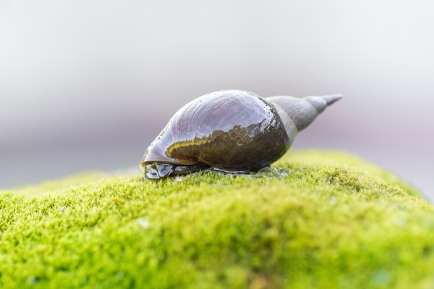 Un gros escargot rampe sur une pierre recouverte de mousse