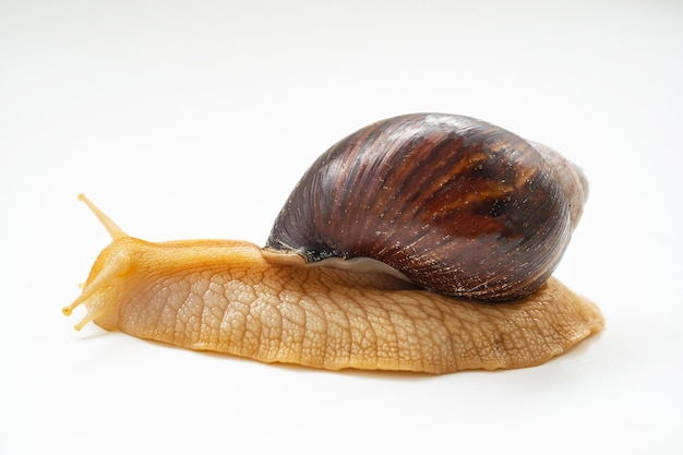 Un gros escargot terrestre sur fond blanc. animaux de compagnie inhabituels. cosmétologie et médecine non conventionnelles.
