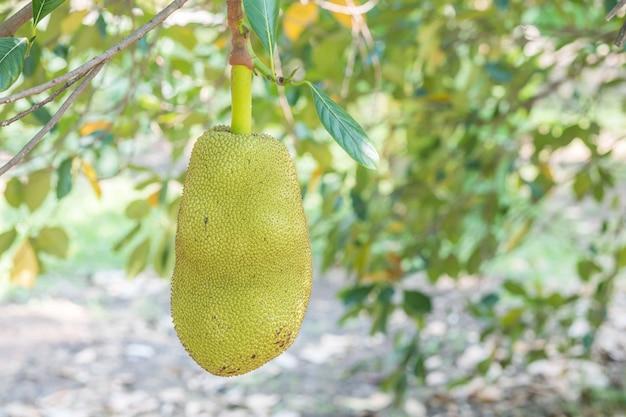 Gros fruit jacquier à l'arbre dans le verger