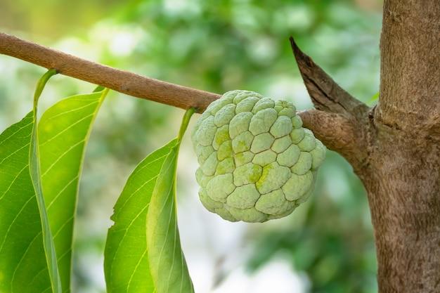 Gros fruit pomme pomme accroché sur l'arbre