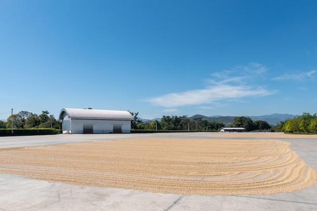 Gros grains de café secs au soleil, arabica pelé sur le sol en ciment