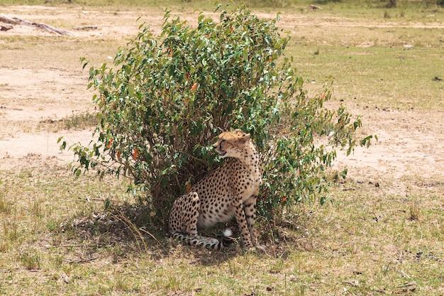 Un gros guépard derrière un buisson savanna de maasai mara kenya