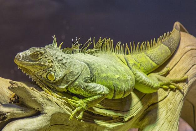 Gros iguane vert allongé sur un morceau de bois