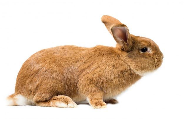 Gros lapin rouge, isoler, lapin de pâques