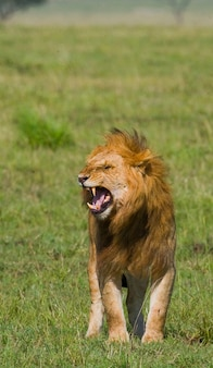 Un gros lion mâle se tient dans la savane. parc national. kenya. tanzanie. masai mara. serengeti.