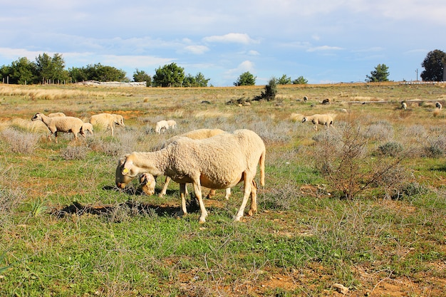 Gros moutons sur l'herbe à antalya