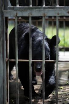 Un gros ours noir est piégé dans une cage en acier.