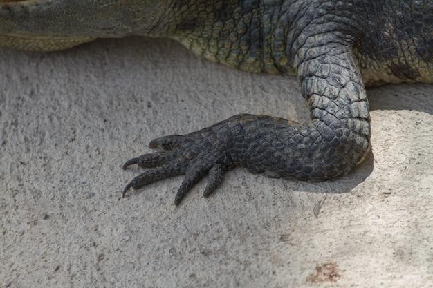 Gros pied de crocodile siamois