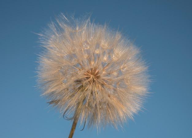 Gros pissenlit blanc contre le ciel bleu