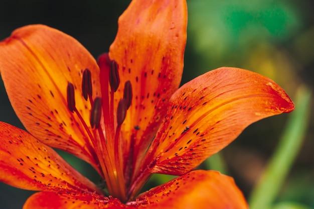 Gros pistil et étamines de fleurs épanouies en macro. gros plan de lys orange rouge magnifique. naturel coloré de plante avec fond. incroyable fleur européenne aux pétales vives. fleur de parfum