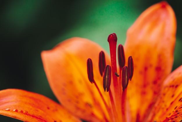 Gros pistil et étamines de fleurs de lys en macro.