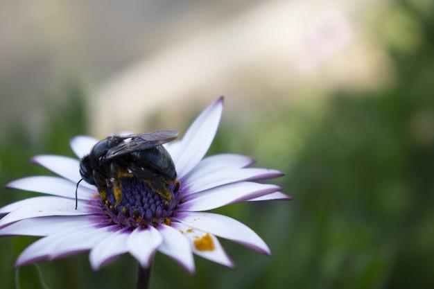 Gros plan d'une abeille sur une belle fleur