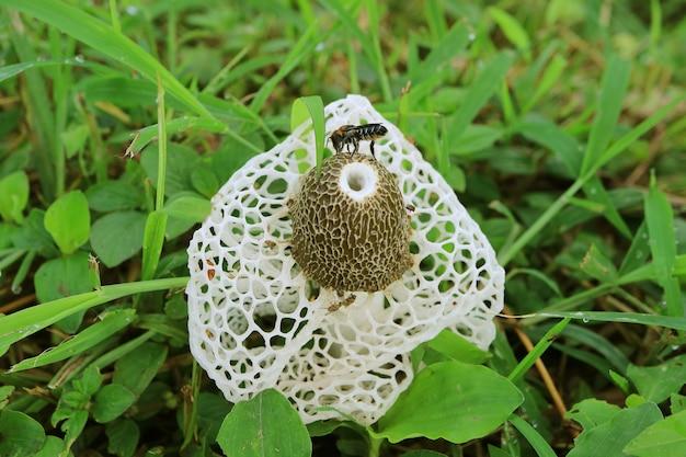 Gros plan sur abeille sur champignon de bambou blanc ou champignon long filet stinkhorn