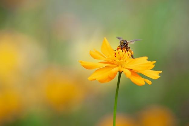 Gros plan abeille sur cosmos jaune avec fond vert