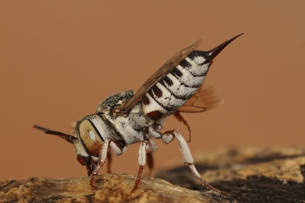 Gros plan d'une abeille coucou qui coupe les feuilles sur un fond uni
