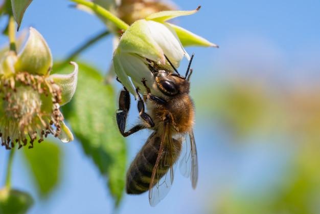 Gros plan d'une abeille sur fleur jaune