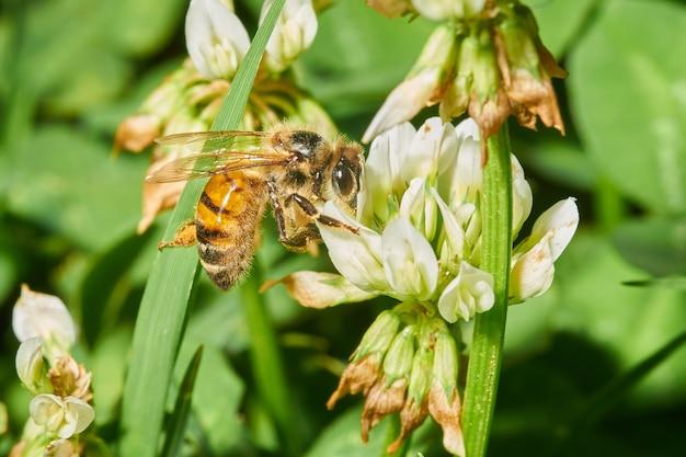 Gros plan d'une abeille sur une fleur de lavande blanche