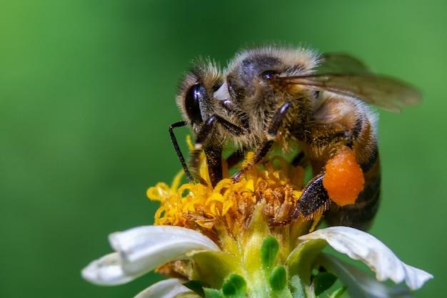 Gros plan d'une abeille sur une fleur