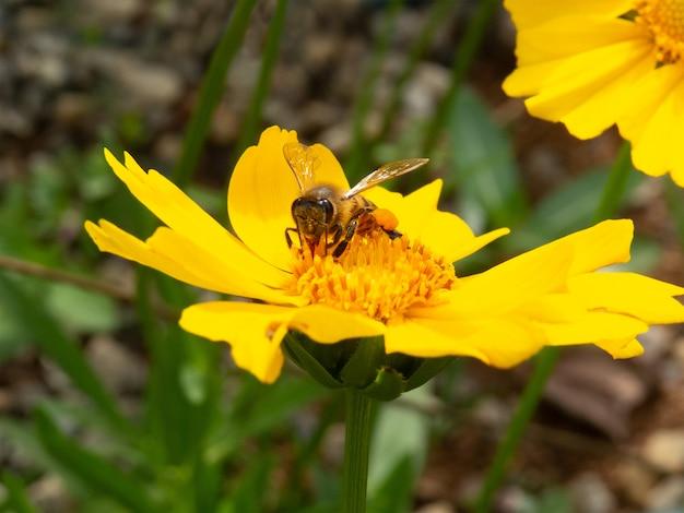 Gros plan abeille pollinisant fleur jaune dans un beau jardin