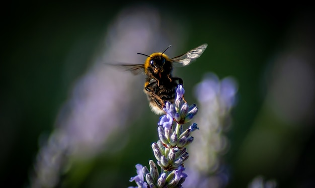 Gros plan d'une abeille ramassant le nectar d'une fleur dans un arrière-plan flou