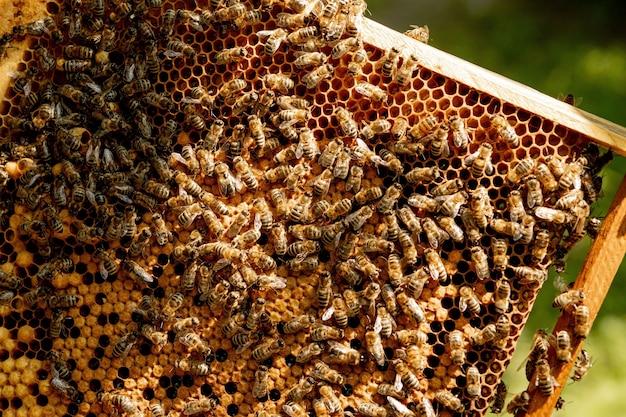 Gros plan d'abeilles sur nid d'abeille en rucher