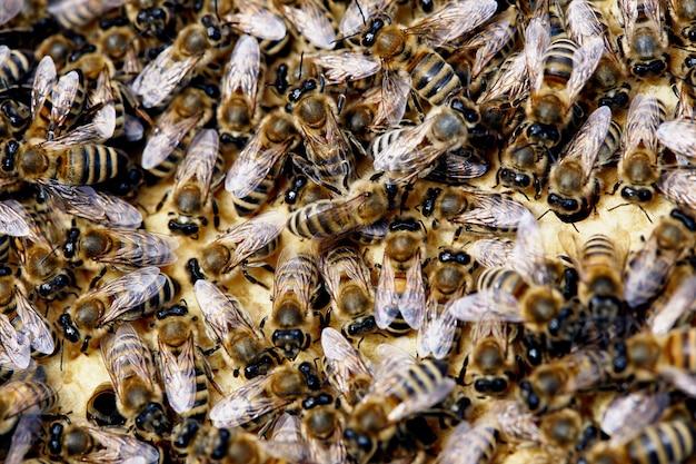 Gros plan des abeilles