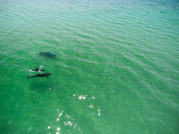 Gros plan aérien d'un groupe de dauphins nageant dans la mer