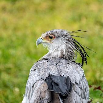 Gros plan d'un aigle debout sur un champ vert pendant la journée