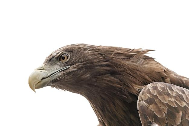 Gros plan d'aigle isolé sur fond blanc. photo de haute qualité