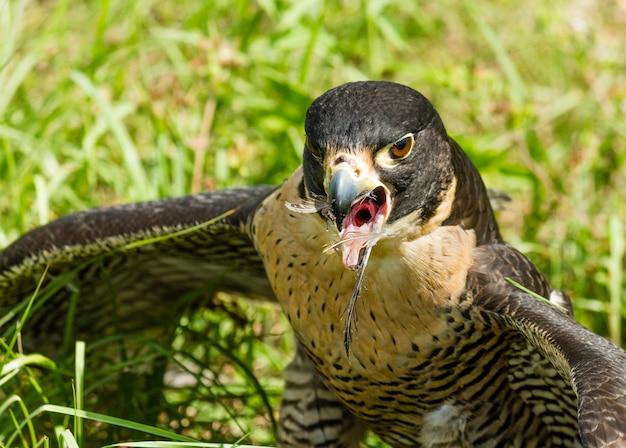 Gros plan d'un aigle avec des plumes dans son bec ouvert