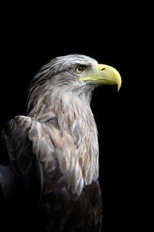 Gros plan aigle à queue blanche