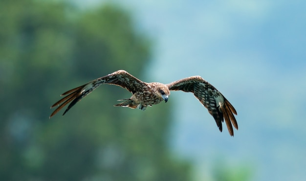 Un gros plan d'un aigle volant dans le ciel avec un arrière-plan flou