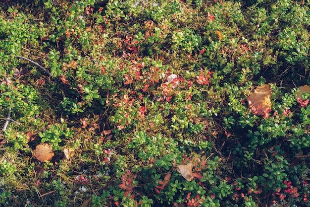 Gros plan sur l'airelle rouge, la mousse de renne, le lichen, les brindilles et les aiguilles de pin, avec un fond de texture moussue. zone boréale arctique, nature de carélie. mise au point sélective, arrière-plan flou photographie stock