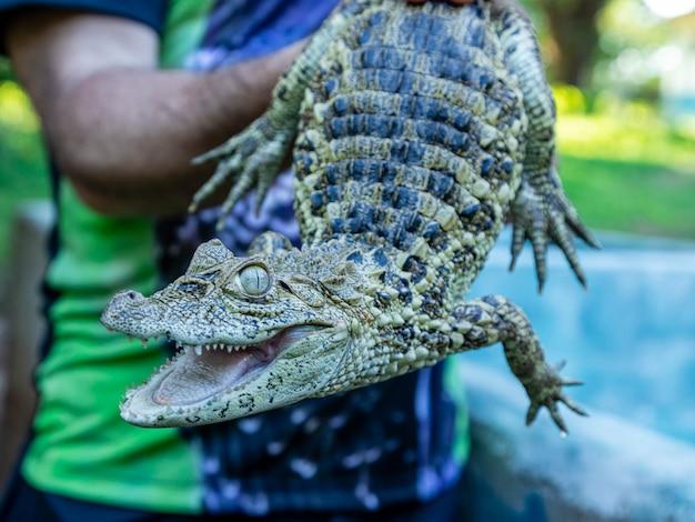 Gros plan sur l'alligator jaune (caiman latirostris)
