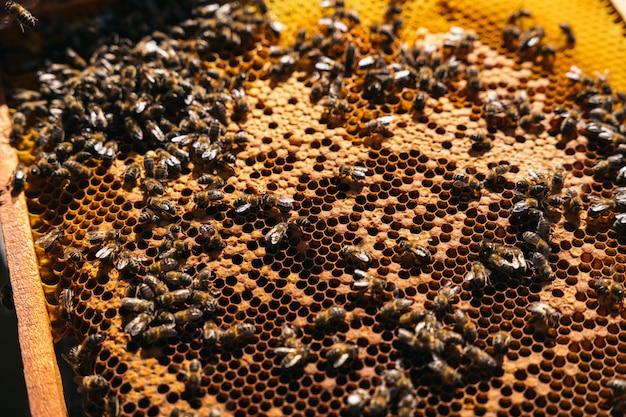 Gros plan d'un apiculteur tenant un nid d'abeilles plein d'abeilles
