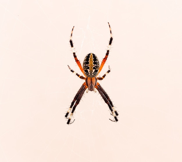 Gros plan d'une araignée croisée isolée