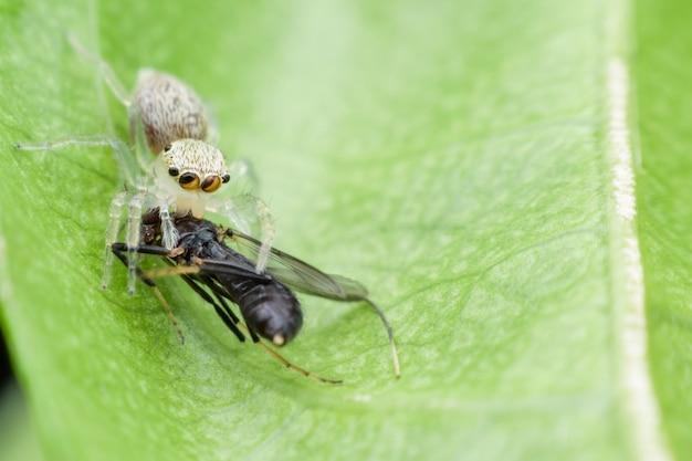 Gros plan, araignée sauteuse, manger, mouche