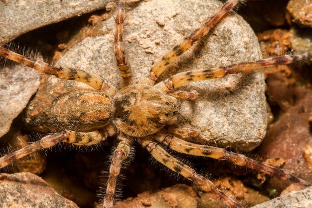 Gros plan sur une araignée zoropsis spinimana.