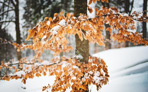 Gros plan d'un arbre aux feuilles jaunies et branches enneigées se dresse contre une pente dans une forêt d'hiver. le concept de nature vierge et de forêt mixte