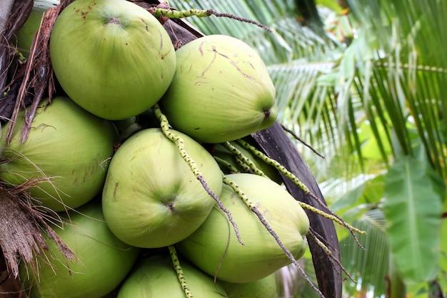 Gros plan, arbre fruitier, noix coco