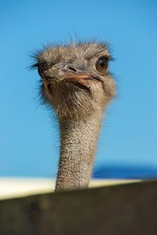 Gros plan d'autruche. visage d'un oiseau d'autruche de près et personnel.