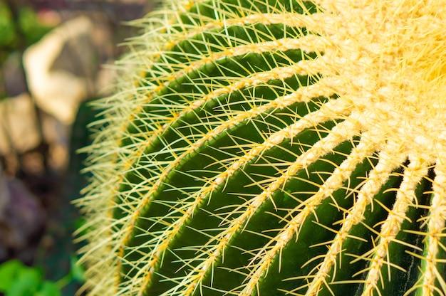 Gros plan d'un beau cactus hérisson exotique