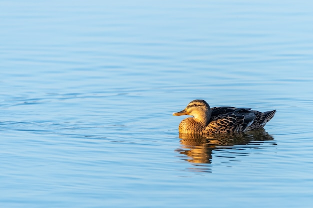 Gros plan d'un beau canard nageant dans l'eau pure d'un lac
