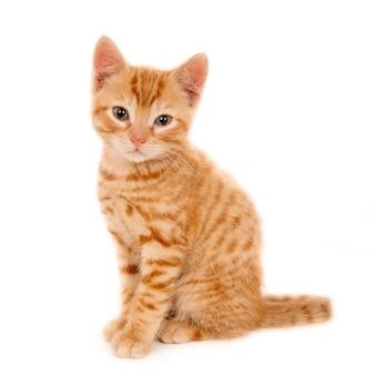 Gros plan d'un beau chaton domestique au gingembre assis sur une surface blanche