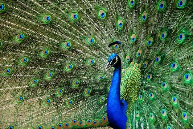 Gros plan beau coup d'un paon avec sa queue ouverte